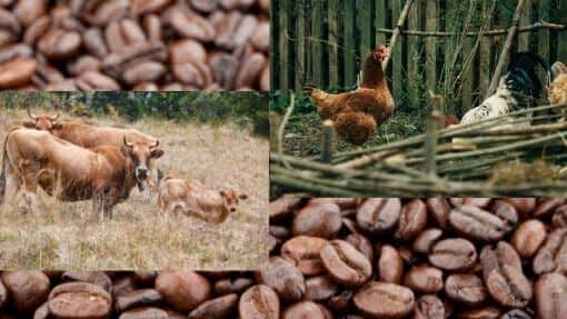 chickens cattle coffee beans