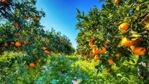 ripe oranges on trees